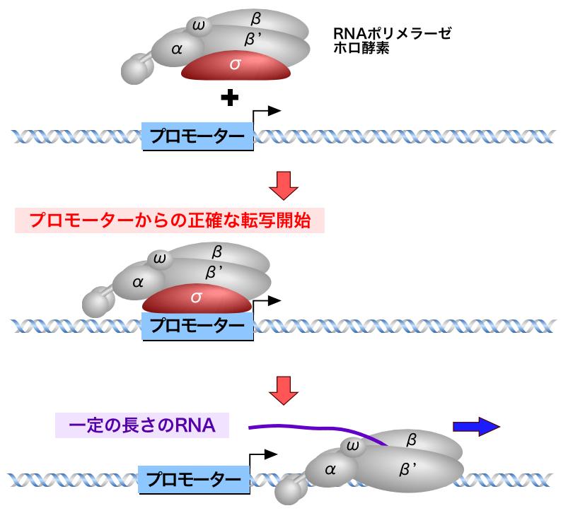 原核生物の転写 | 遺伝子の発現 ...