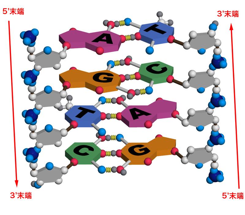 DNAの基本構造 〜二重らせん〜 |...