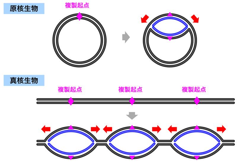 DNA複製の基本プロセス   DNAの...